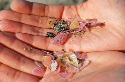 桜貝採りの成果
