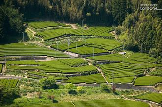 金谷のお茶畑